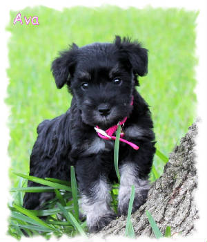 Mini Schnauzer Puppies on Mini Schnauzer Puppies Available